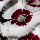 Dianthus macro by mooksool