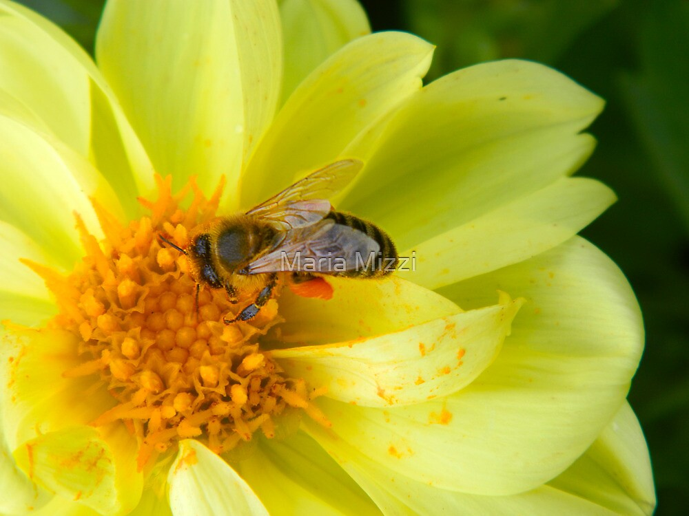 A bee at work in my own backyard! by Maria Mizzi