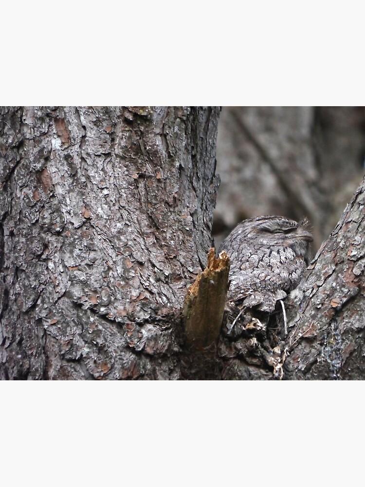 Tawny Frogmouth Nesting by theoddshot