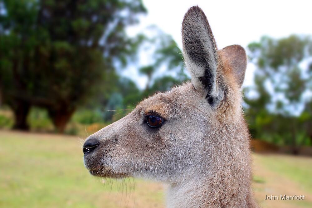 Kangaroo by John Marriott