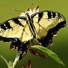 Yellow Swallowtail by Samantha Dean