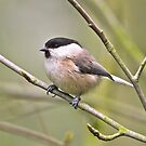 Willow Tit by dilouise
