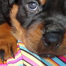 Young Female Rottweiler Making Eye Contact by taiche