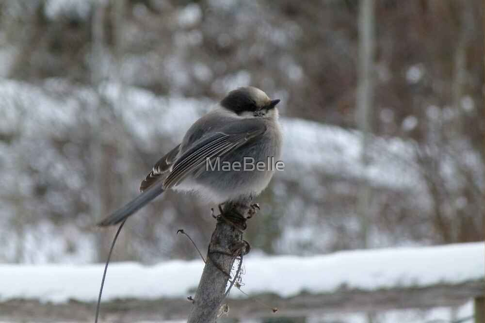 Canada Jay...whooo its cold today.. by MaeBelle