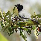 Black-face Cuckoo-Shrike by triciaoshea