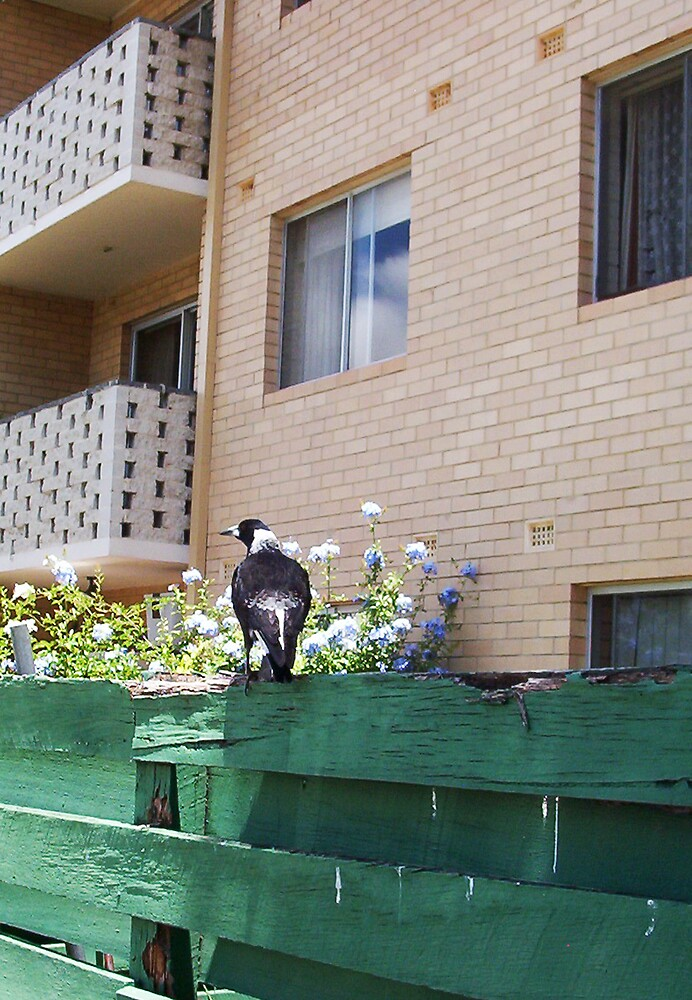 Magpie - 13 11 12 by Robert Phillips