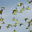 Budgies on the Wing - Great Victorian Desert, WA by Liam Byrne