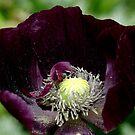 Poppy by hanslittel