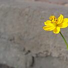 Yellow cosmos flower by Annabella