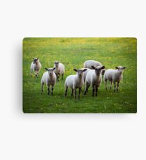 Sheep in the Cotswolds Canvas Print