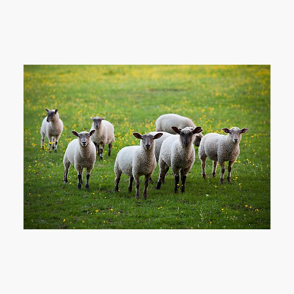 Sheep in the Cotswolds Photographic Print