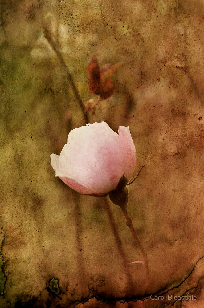 Last Rose of Autumn by Carol Bleasdale