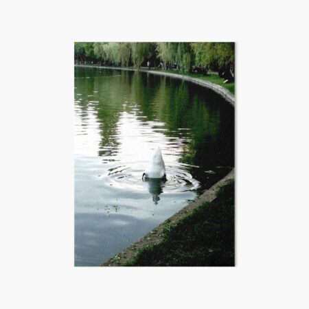 Duck with its head in the water and its white tail up on a lake with water with green reflections from the willows on the edge and blue from the sky Art Board Print