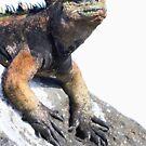 Iguana by Sylwester Zacheja