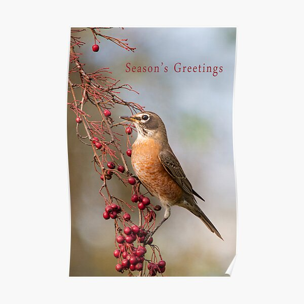 Robin and Red Berries Poster