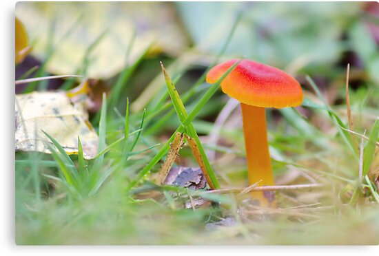 Scarlet Waxcap ,  [ soft focus ] by relayer51