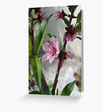 Pink Peach Blossom Greeting Card