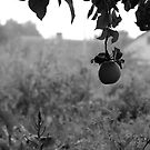apple from my orchard, b&w version by kchamula