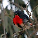 Mistletoebird by EnviroKey