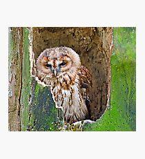 Tawny Owl Photographic Print