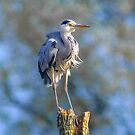Great Blue Heron by Nicole W.