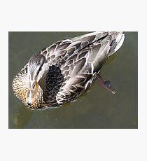Swimming Duck Photographic Print