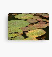 Water Lillies, Brazil Canvas Print