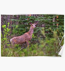 Scraggly Muley Poster