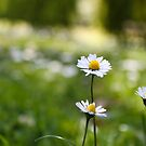 Daisy Chains by KerryPurnell
