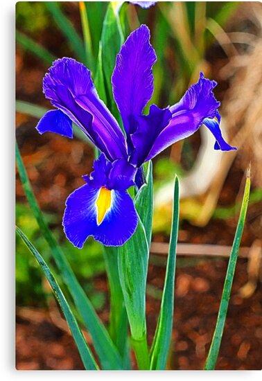Iris oh Iris how regal thou art by Elaine Game