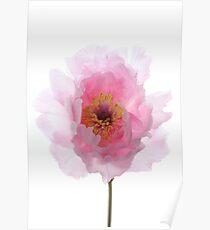 Pink Tree Peony. Poster