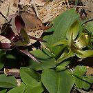 Chiloglottis valida (Common Bird-orchid) by Russell Mawson