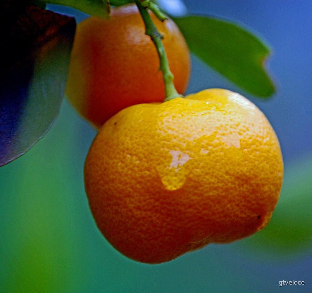Cumquat after rain by gtveloce