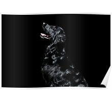 Black flat coat retriever on black background Poster