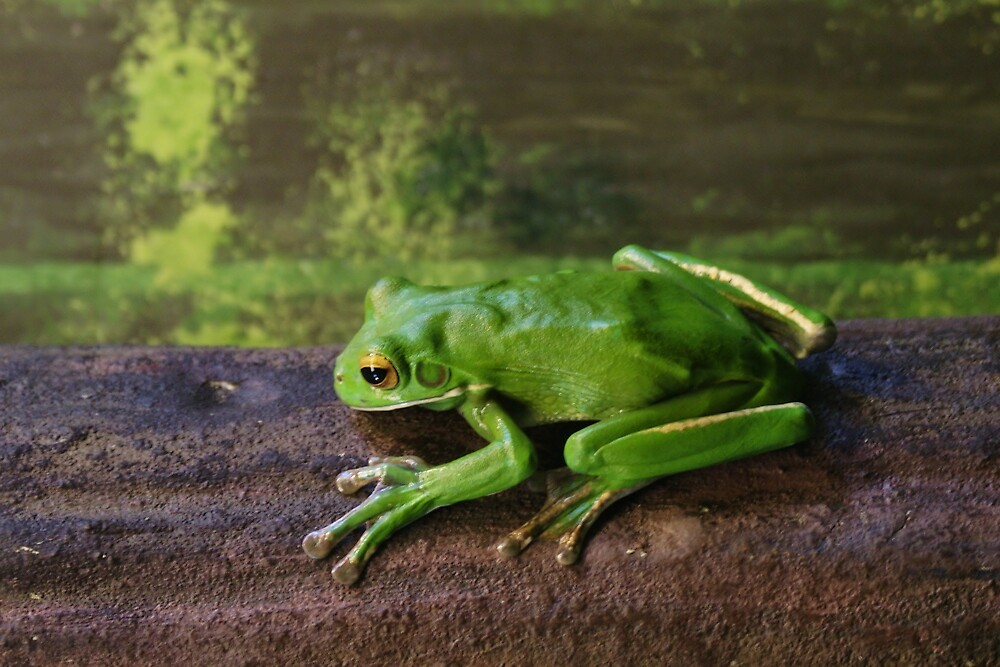 White-lipped Tree Frog by roger smith