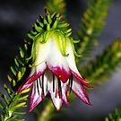 Darwinia meeboldii (Cranbrook Bell) by Russell Mawson