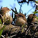 Baby Blue Wrens by Michelle Ricketts