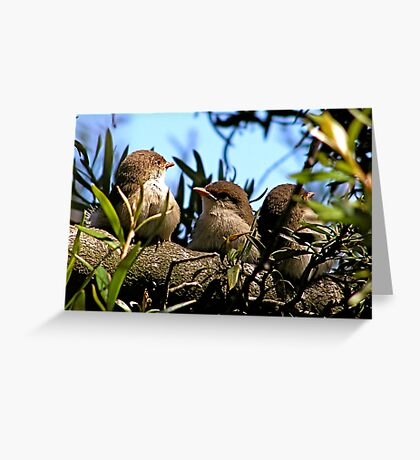 Baby Blue Wrens Greeting Card