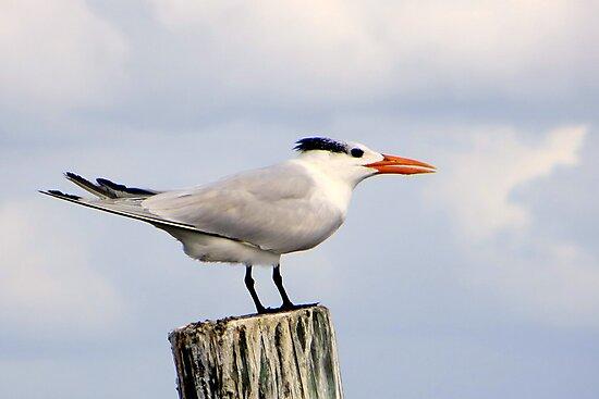Royal Tern by AuntDot