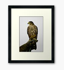 New Zealand Falcon Framed Print