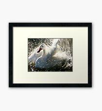 Splashing white duck Framed Print