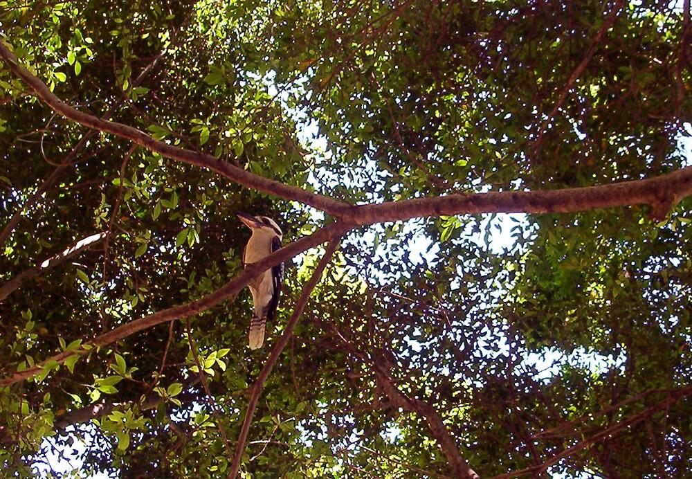 Kookaburra Landscape - 18 11 12 by Robert Phillips