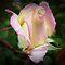 *Favorite Half Open Rose - Gorgeous flower Cards*