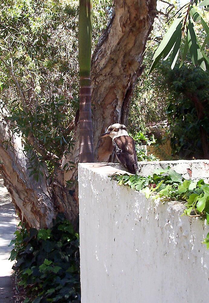 Kookaburra On My Mother's Wall - 19 11 12 by Robert Phillips