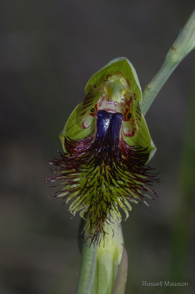 Calochilus campestris (Copper Beared-orchid) by Russell Mawson