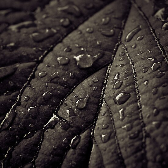 wet leaf by kavolis