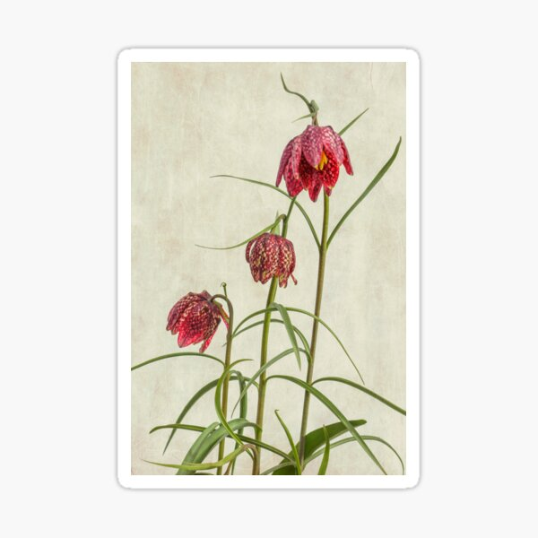 Flowers of the Fritillaria meleagris Sticker