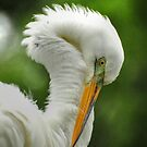 The Great White Egret by Kathy Baccari