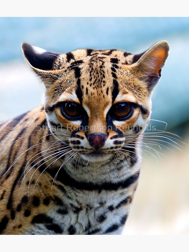 Margay by Sparky2000
