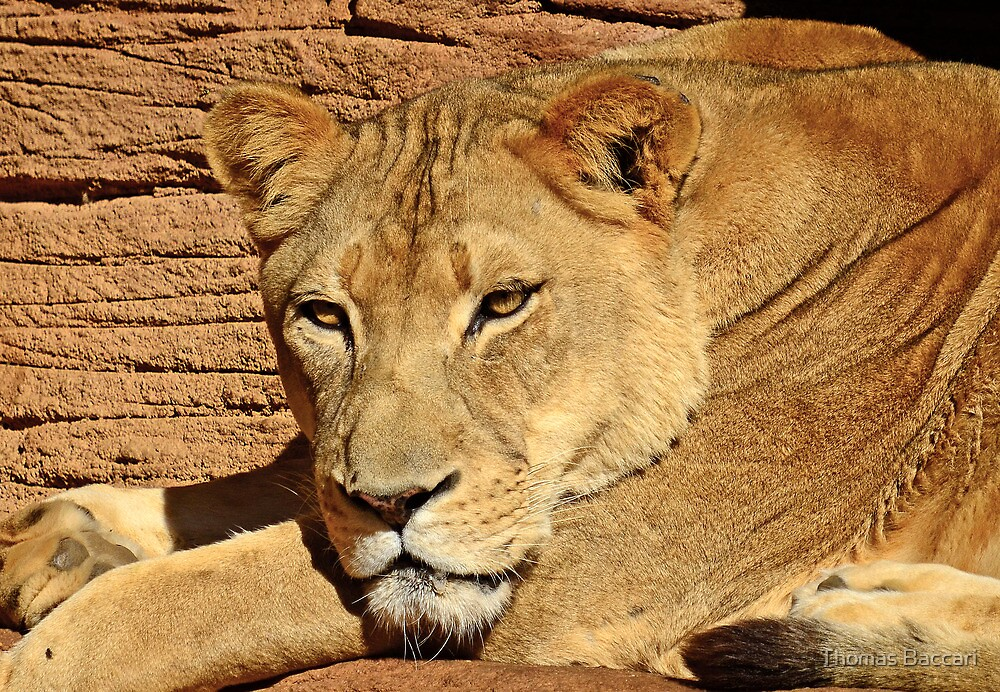 Lady Lioness by TJ Baccari Photography